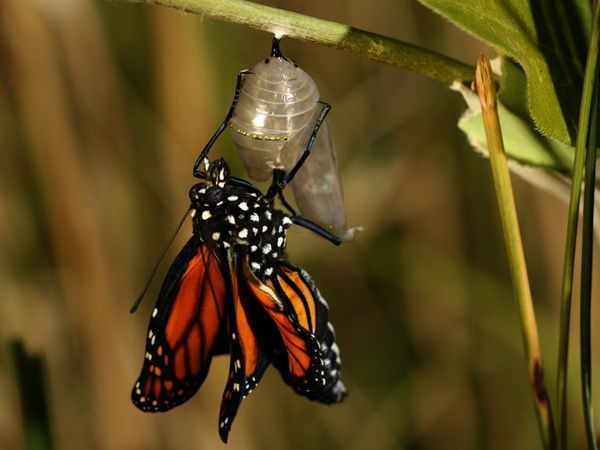 Monarch Butterfly Life Cycle and Migration - National ...