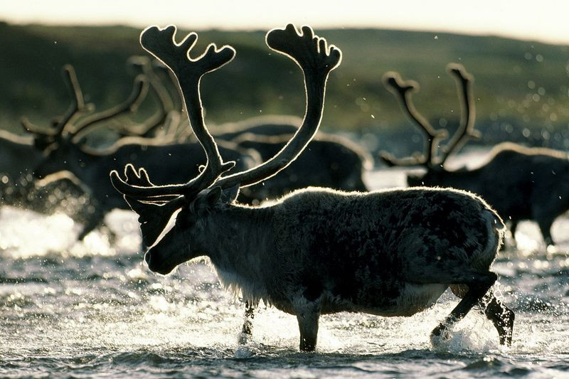 caribou reindeer national geographic