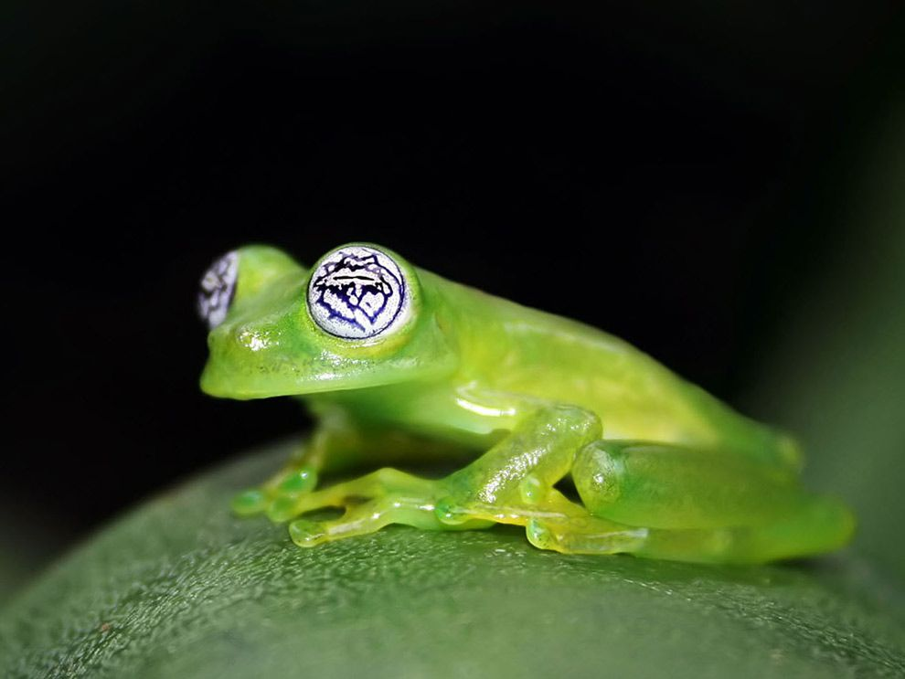 Glass Frog National Geographic Society - Real life kermit the frog discovered in costa rica
