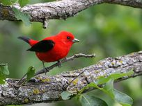 Photo: A red bird with black wings on a branch