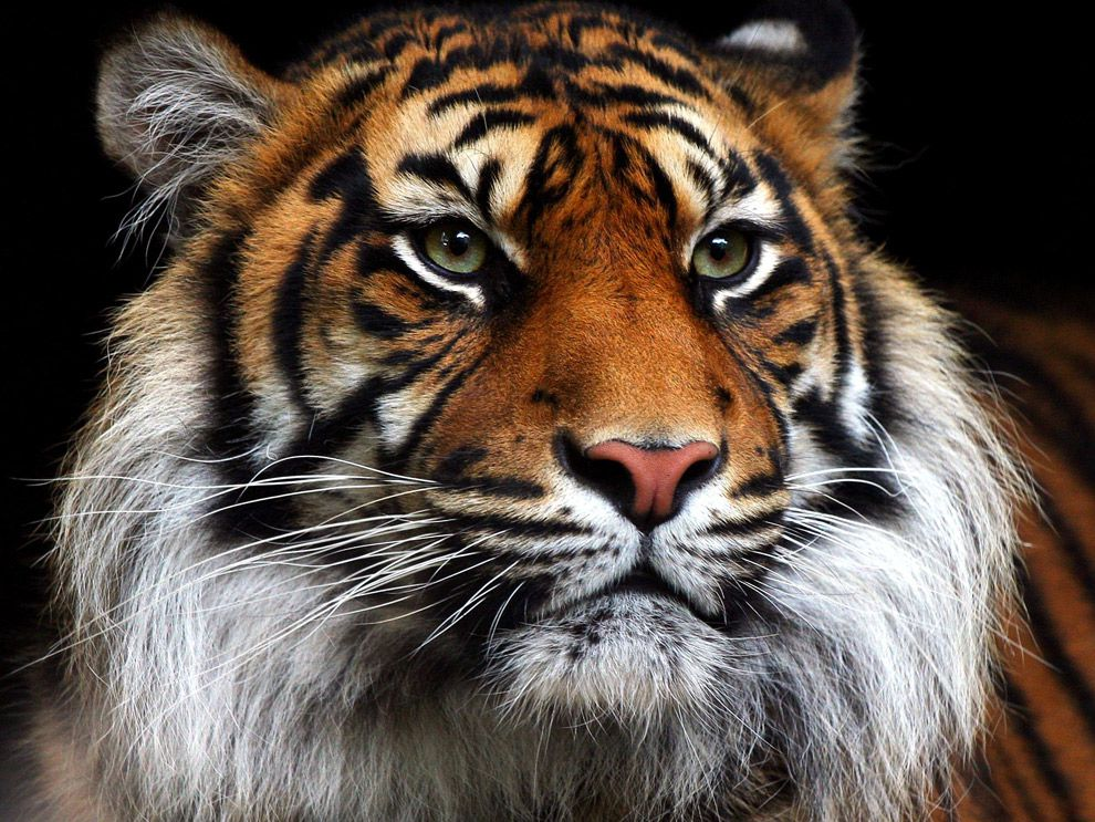 Sumatran Tiger National Geographic Society