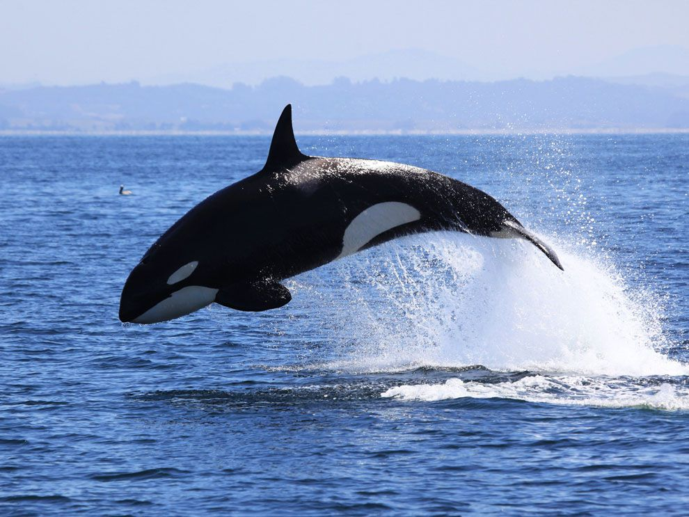 Killer Whale | National Geographic Society