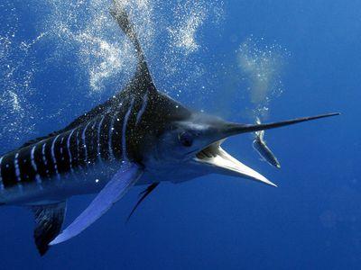 Photo: Striped marlin feeding