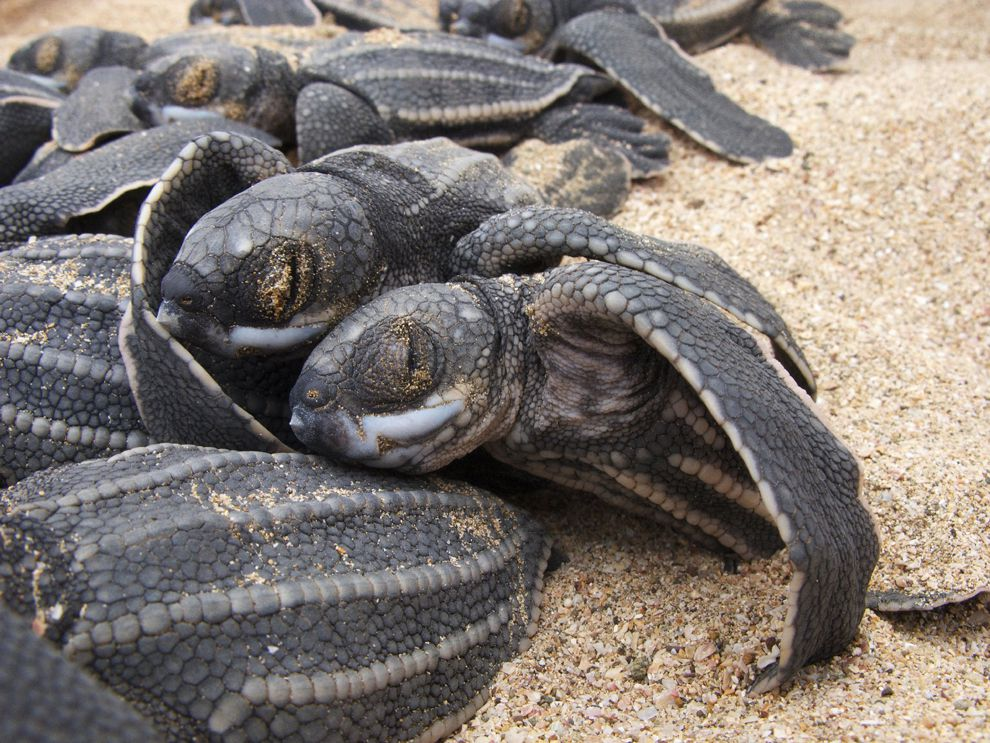 Track leatherback sea turtles national geographic society