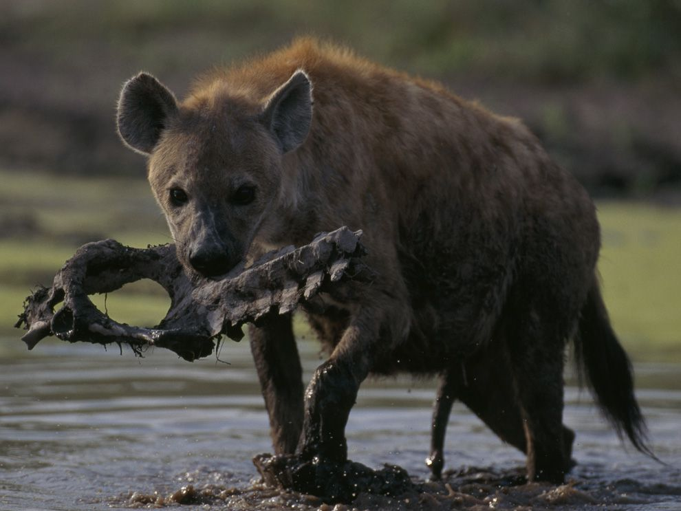 Another word for hyena