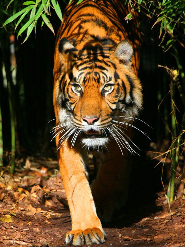 Sumatran Tiger  National Geographic Society
