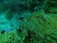 Clownfish hides behind anemone in the Great Barrier Reef