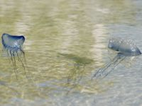 Photo: Portuguese man-of-war.
