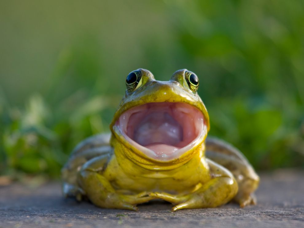 frogs and toads - Images Of Frogs