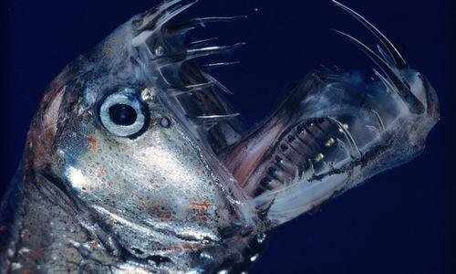 Deep sea fish with light