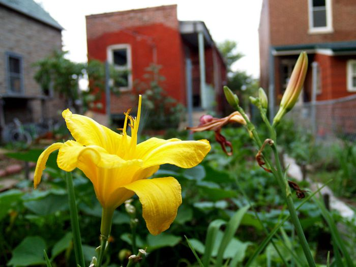 A yellow lily sits open proudly near a blooming bud in the vegetable garden of South City anarchist collective house called Bolozone in South City St. Louis June 2009.