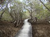 Oil's Impact on Black Mangrove Trees