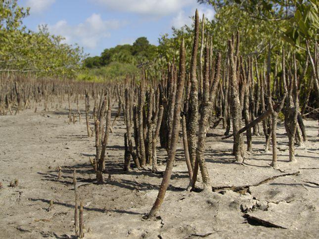 Mangrove Snorkel Roots