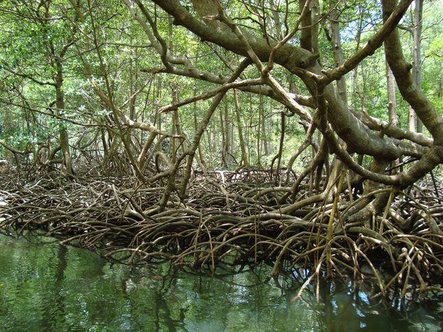 Mangrove Drop Roots