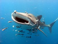 Photo: A whale shark.