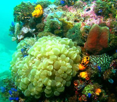 Photo: Bubble Coral in Sogod Bay, Southern Leyte, Eastern Visayas.