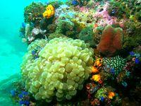 Photo: Bubble Coral in Sogod Bay, Southern Leyte, Eastern Visayas.