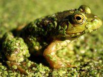Photo: Frog in a bog, Maynard, Mass.