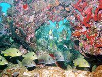 Photo: Yellow and blue striped fish swim through multicolored coral