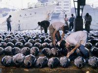 Photo: Fish buyers use flashlights to examine tuna spread on warehouse floor.