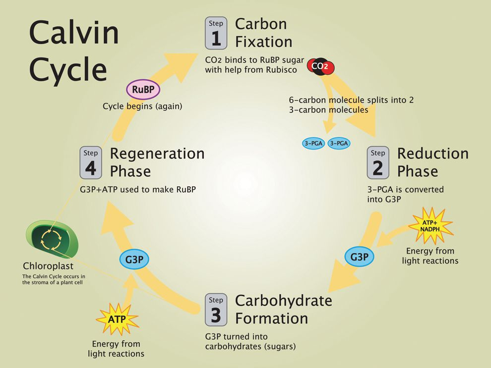 "3 phases of the carbon cycle Life cycle impact of soybean production and soy industrial  accounting for carbon sequestration  are collected when performing a life cycle assessment""3 the."