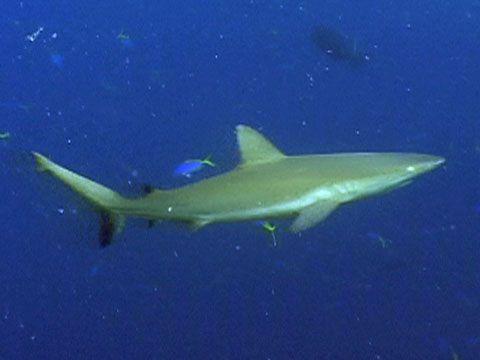 Crittercam: Grey Reef Shark