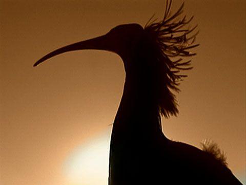Syrian Ibis