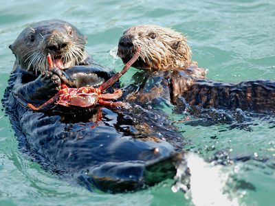 Photo: Sea otters eat a crab.