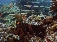 Photograph: Small, brightly colored fish swim in a coral reef.