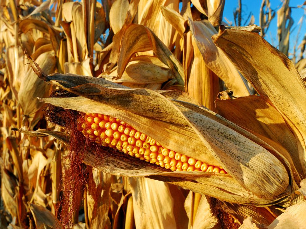 Corn National Geographic Society