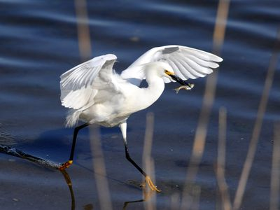 Photo: Egret walking with fish in it's mouth.