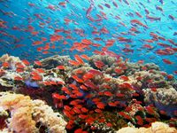 Picture of fish swimming around coral reef