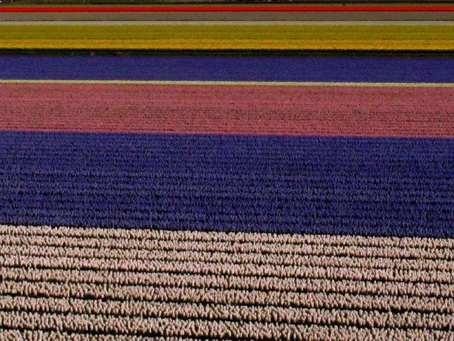 Tulip Crop