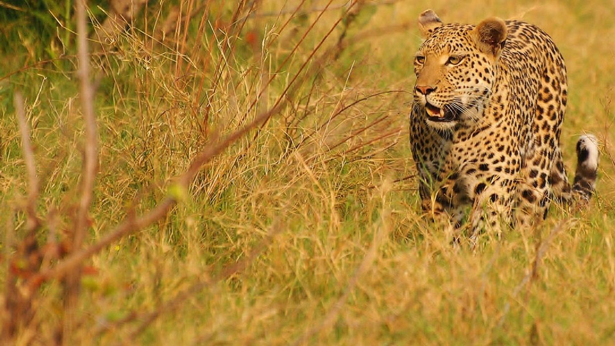 Big Cats and Their Habitats