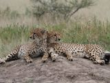Case Study: Big Cats in the Maasai Steppe