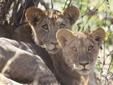 Case Study: Big Cats in the Ruaha Landscape