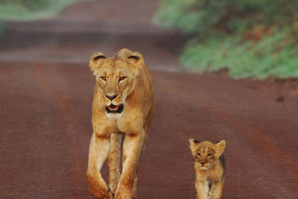 Lioness and Cub walking