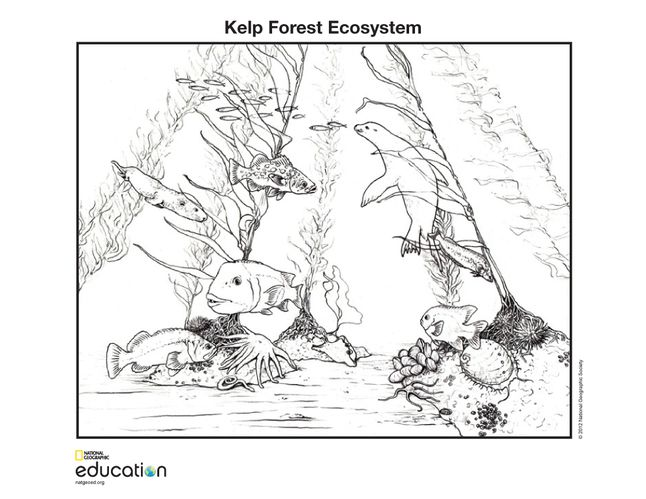 Kelp Forest Ecosystem National Geographic Society