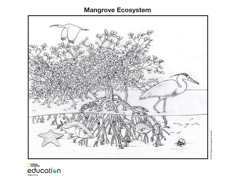 Mangrove Ecosystem National Geographic Society