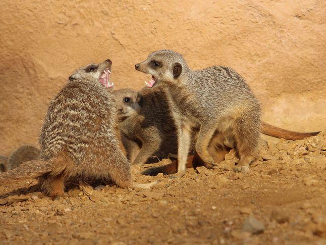 Meerkat Fight