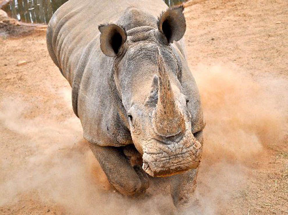 White Rhinoceros National Geographic Society