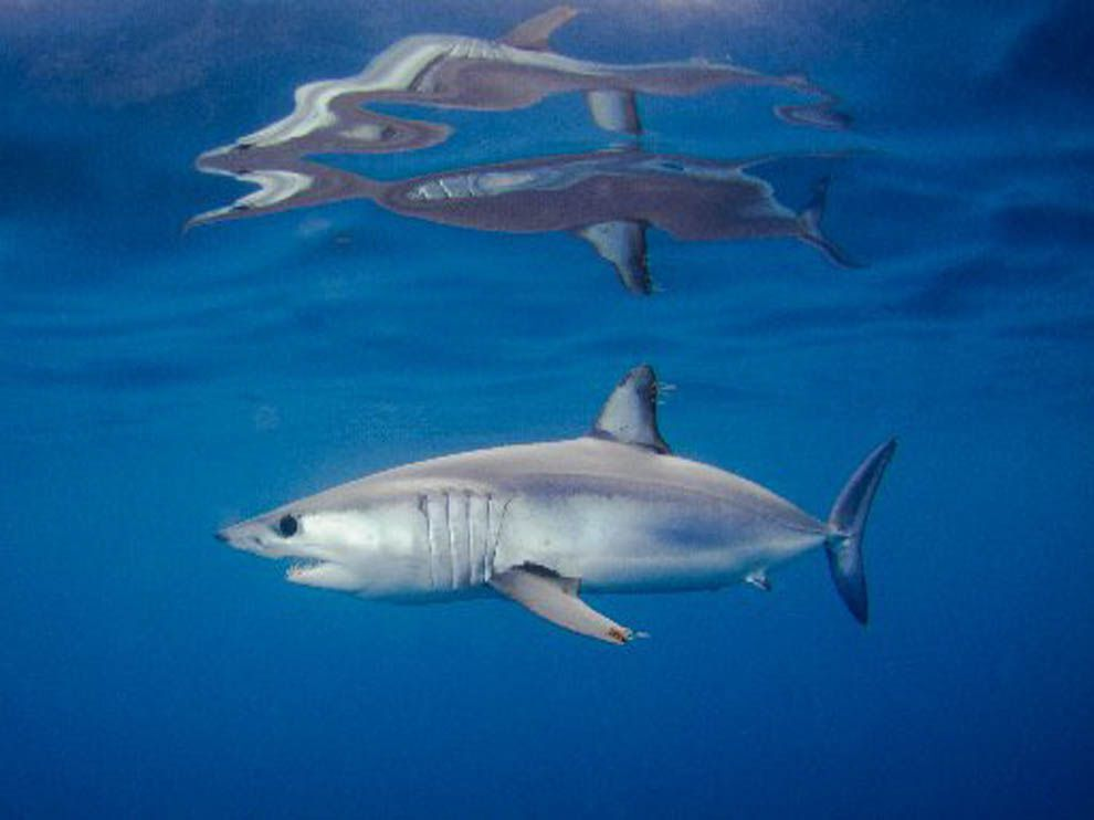 mako shark national geographic society