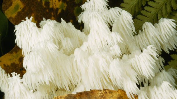 "<p>This <em>hericium</em> mushroom is also called the ""white spined icicle mushroom"" because of its long, white tendrils. <em>Hericia</em> are edible, easily recognizable, and grow around the world. Biomedical researchers and bioprospecters have recently taken an interest in its medicinal properties, which may include the ability to slow the spread of cancer in humans.</p>"