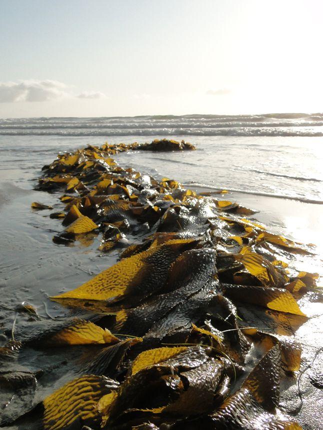 Washed-Up Giant Kelp