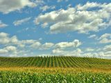 Picture of corn neatly arranged in rows in a field.