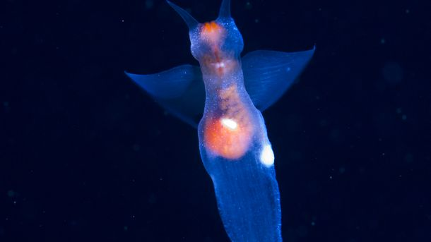 "<p>Sea butterflies have a ""bipolar"" distribution, meaning they live only in arctic and antarctic waters. This sea butterfly was discovered swimming near Paddy's Head, Nova Scotia. It was a lucky find; the tiny creatures are found at Paddy's Head for only a brief period of time from early to mid December.</p>"