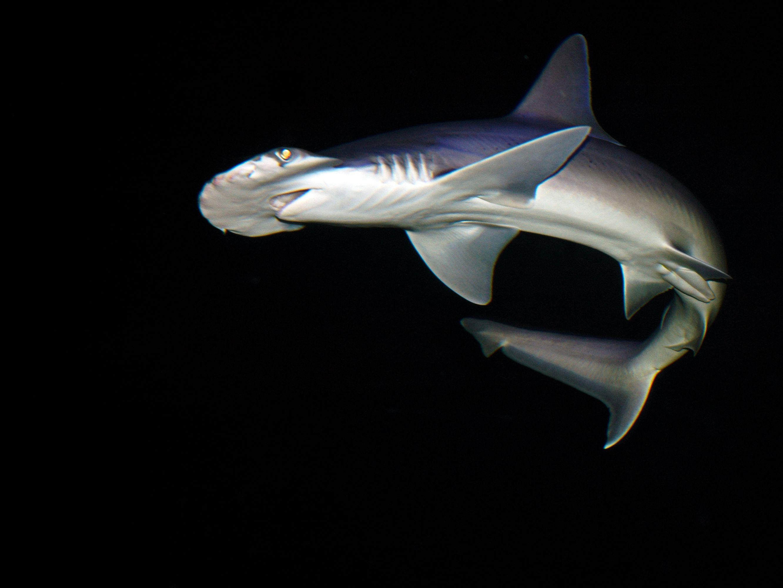 hammerhead shark national geographic society