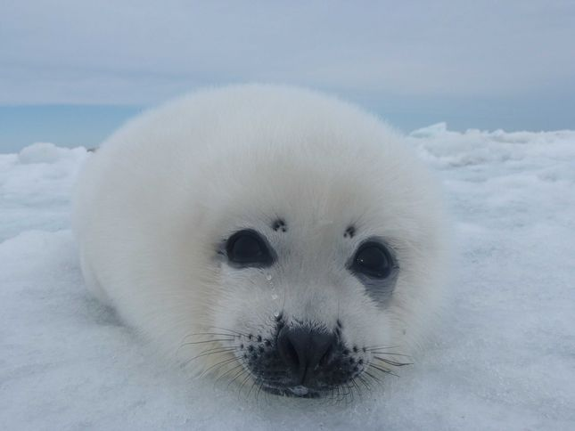 Harp Seal National Geographic Society