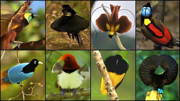 birds of paradise national geographic society