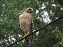 Photo of a red-tailed hawk.